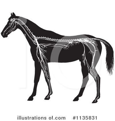 Horse Anatomy Clipart #1135831 by Picsburg