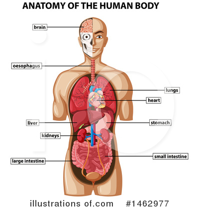 Lungs Clipart #1462977 by Graphics RF