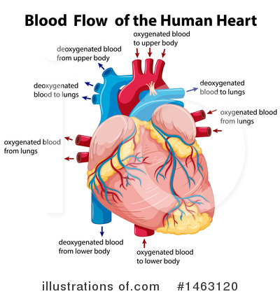 Human Heart Clipart #1463120 by Graphics RF