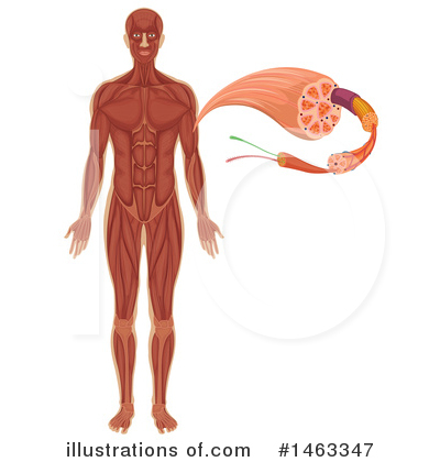 Anatomy Clipart #1463347 by Graphics RF