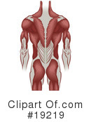 Royalty-Free (RF) Muscles Clipart Illustration #19219