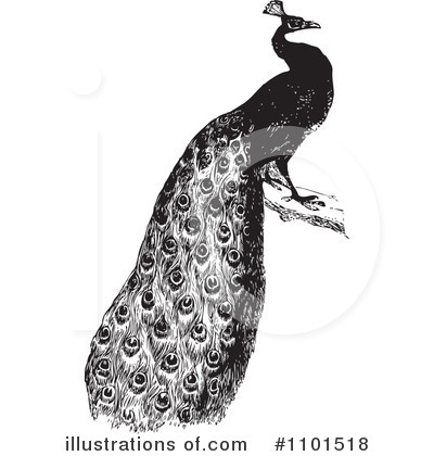 Peacock Clipart #1101518 by BestVector