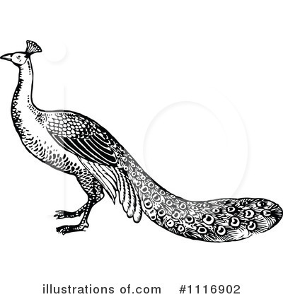 Peacock Clipart #1116902 by Prawny Vintage
