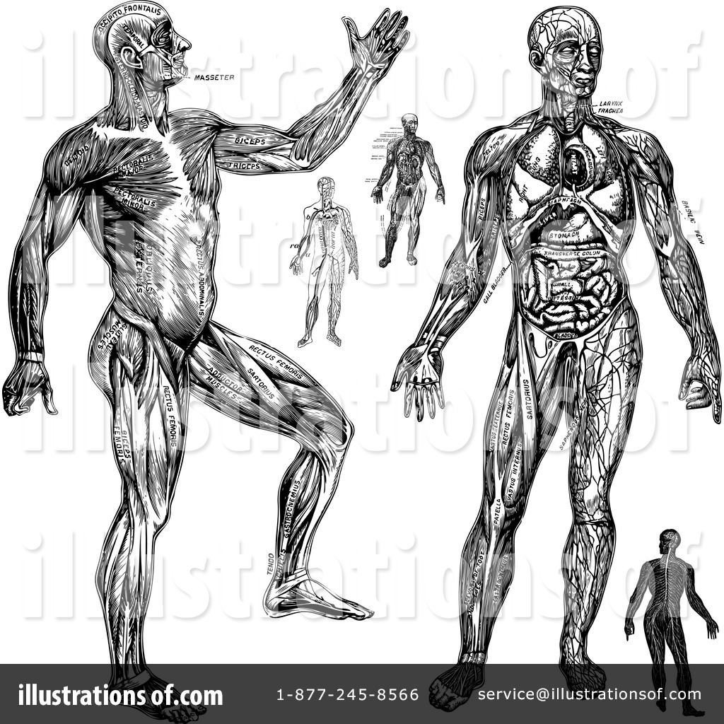 Anatomy Clipart 433956 Illustration By Bestvector